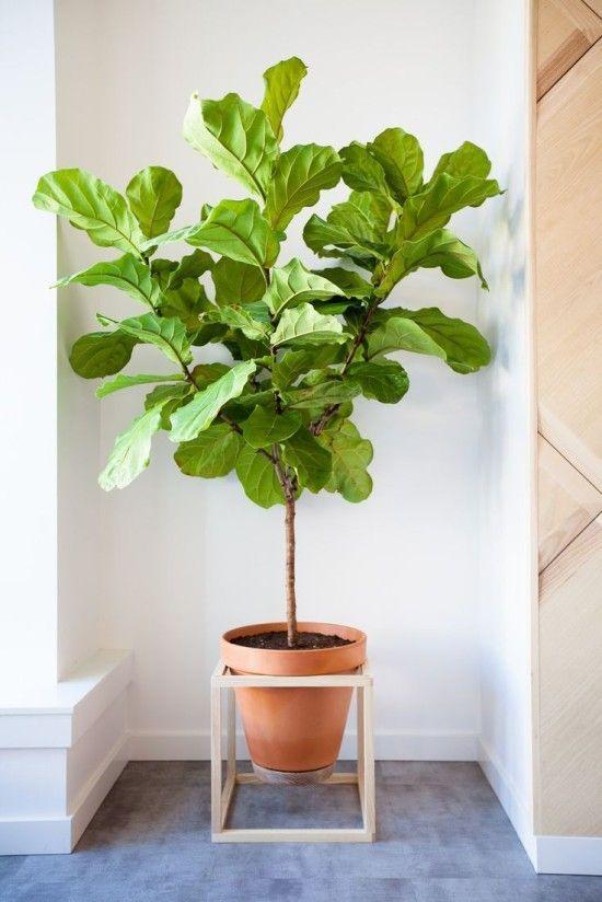 Grote kamerplant