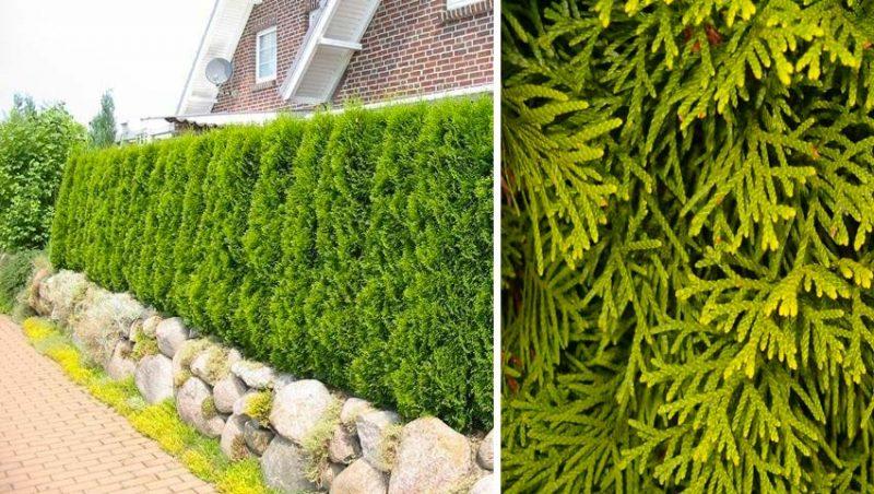 hagen planten Thuja occidentalis Smaragd