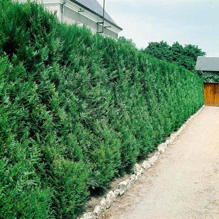 hagen planten Thuja plicata Atrovirens