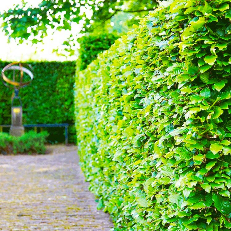 hagen planten groene beukenhaag