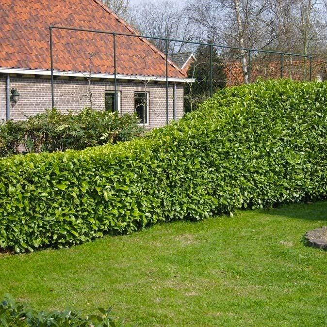 hagen planten laurierhaag