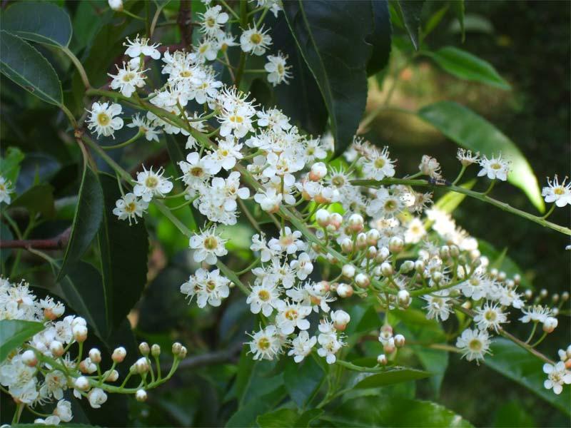 hagen planten portugese laurier
