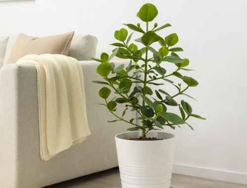 ikea plant Clusia