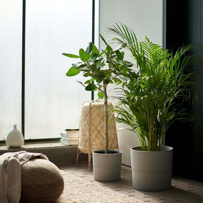 IKEA plant DYPSIS LUTESCENS