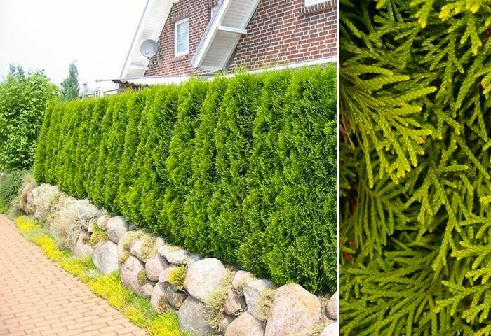 kant en klare hagen Thuja occidentalis Smaragd
