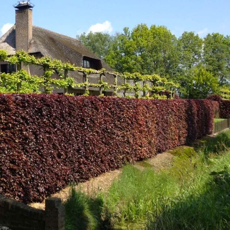 kant en klare hagen rode beuk
