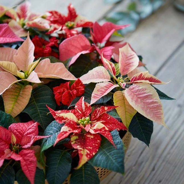 kerstster kleur