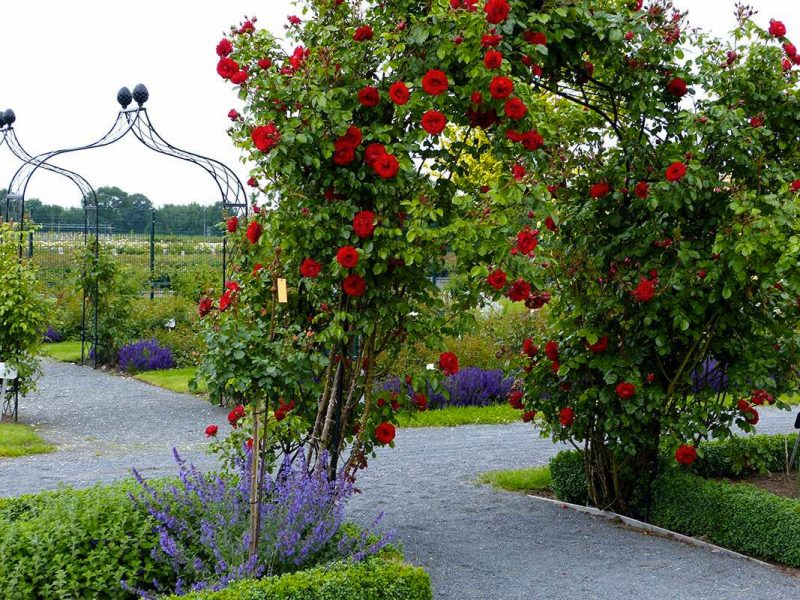 rozenboog rozen