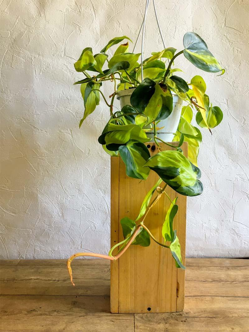 slaapkamer planten Philodendron scandens