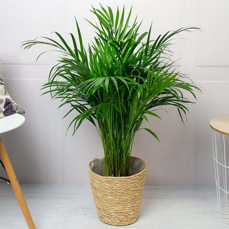 slaapkamer planten goudpalm