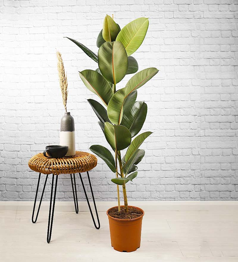 slaapkamer planten rubberplant