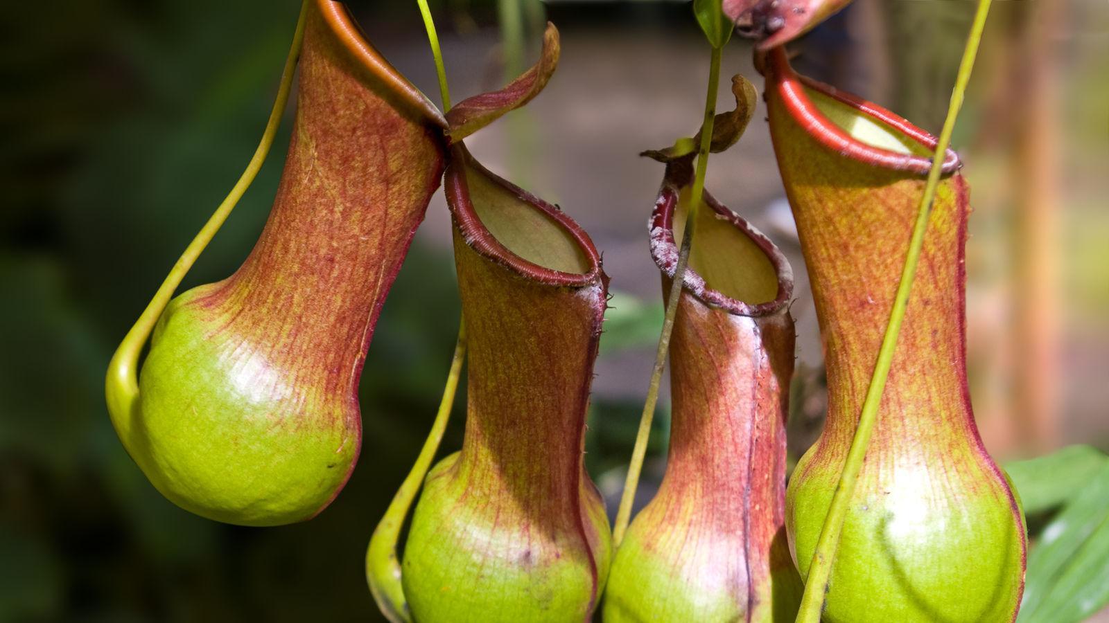 vleesetende plant bekerval